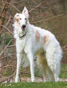 borzoi dog photo | the photos below to see full size image. To save the full size photo ...