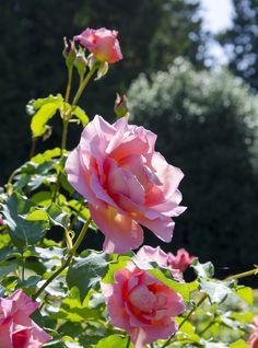 'Tiffany' | Hybrid Tea rose. Introduced in 1954 by Lindquist. | Flickr - © Clara Johnson