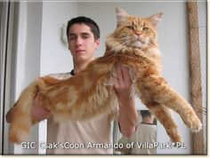 Big kitty.... Maine Coon cat!