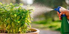 Δεν υπάρχει φυτό που τα μην παρουσιάσει κάποια ασθένεια κάποια στιγμή της ζωής του. Είτε αυτό αφορά επιδρομές από ζωύφια ή λόγω μη σωστού ποτίσματος/κλαδέματος. Θα δεις ποιοι είναι οι τρόποι για να διώξεις ζωύφια και έντομα από τα φυτά σου για να είναι πάντα υγιή και προστατευμένα. Η μελίγκρα είναι από τις πιο συχνές […] The post 3 Τρόποι να διώξεις ζωύφια και έντομα από τα φυτά σου! appeared first on exypnes-idees.gr. Vegetable Garden Design, Urban Farming, Edible Garden, Herb Garden, Agriculture, Farmer, Herbs, Flowers, Plants