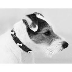 Jack Russell Terrier - Scout