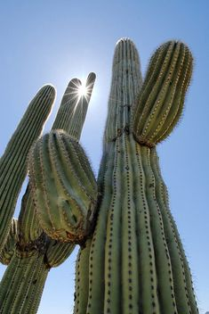 Saguro Cactus.I remember staying in a silent lovely place in AZ. We were surrounded by tall standing cactus. People-like in the dark at night.
