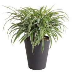 plants at sam's club, plants with white flowers, plants at kroger, plants inside home, plants at homegoods, plants that repel bugs and pests, plants at safeway, plants at menards, plants under evergreen trees, plants at publix, plants at kmart, plants at office depot, plants at michaels, plants that repel mosquitoes, plants at tj maxx, vines depot, plants at cvs, plants at ikea, plants at harris teeter, plants at disney, on rainforest plants at home depot