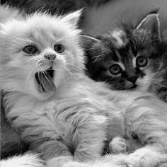 Cats W & B - cute fluffy kittens(hva)