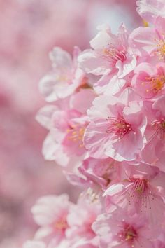 She loves spring Sakura flowers Kanagawa,Japan.They must be on her travel list. Flowers Nature, My Flower, Pretty In Pink, Pink Flowers, Beautiful Flowers, Sakura Cherry Blossom, Japanese Cherry Blossoms, Blossom Trees, Pink Aesthetic