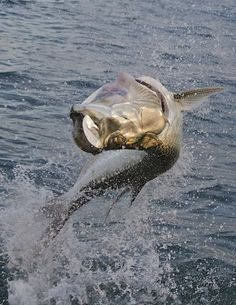 Impressive Photos by Pat Ford - leaping tarpon  www.facebook.com/IlhabelaBrasil