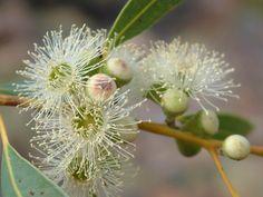 Ghost Gum tree blossom