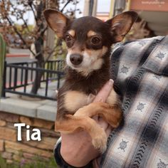 Meet Tia, an adoptable Chihuahua looking for a forever home. If you're looking for a new pet to adopt or want information on how to get involved with adoptable pets, Petfinder.com is a great resource.