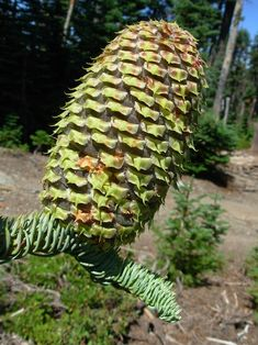Abies magnifica var shastensis; Shasta red fir cone