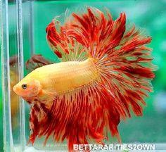 Live Betta Fish orange red yellow HM male <> 4515 <> RAGING SUN <> RARE import