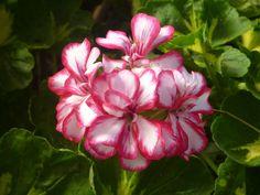 ¿Cómo cuidar los geranios en invierno? - http://www.jardineriaon.com/como-cuidar-los-geranios-en-invierno.html #plantas
