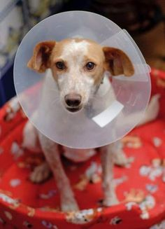 Esta es Nona, la recogimos de Procani (una asociación de voluntarios de Osuna que rescatan a perros abandonados) y fue el regalo de nuestro noveno aniversario de bodas, de ahí su nombre. Es muy cariñosa y casera, ¡ah! y muy glotona.