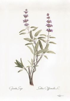 botanical illustration salvia officinalis - Google Search