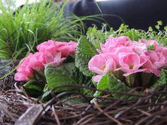 Flower-Friday, Primeln