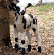 Jacob Lamb...we used to own one of these sweethearts<3 name was peppermint Patty..<3