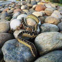 Follow @kw3hmd on Instagram: From: @ariawesomeness -  Anaconda on the rocks  #exoticpets #yellowanaconda #eunectesnotaeus #eunectes #notaeus #yellowanacondasofinstagram #reptilesofinstagram #snakesofinstagram #boasofinstagram #pets #reptile #anaconda #snakes #snake #boa #boasofig #animals #instapet #igdaily #igaddict #instapic #instalike #herp #herpetology #animalphotography #exoticanimal #Anaanaconda #Regrann Amphibians, Reptiles, Anaconda, Exotic Pets, Snakes, The Rock, Animal Photography, Insta Pic, Rocks