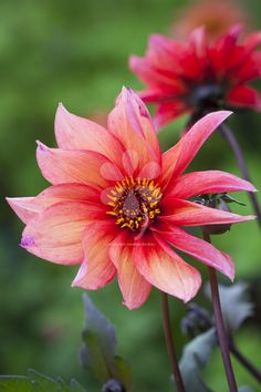 Buy Dahlia 'Waltzing Mathilda' from Sarah Raven: A wonderful dahlia with a relaxed, informal shape. A beautiful flame and coral colour. Flower Farm, Flower Pots, Amazing Flowers, Beautiful Flowers, Happy Flowers, Rare Flowers, Cut Flowers, Growing Dahlias, Gardens