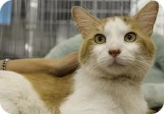 Blackwood, NJ - Domestic Shorthair. Meet Robert, a cat for adoption. http://www.adoptapet.com/pet/9158768-blackwood-new-jersey-cat