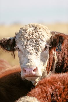 Oklahoma agriculturalist returns to his family's ranching roots. Only this time he settles on raising Hereford cattle. Read more in this Ranch House Journal feature. Hereford Beef, Hereford Cattle, Vegan Animals, Farm Animals, Wild Animals, Gado Leiteiro, Fluffy Cows, Baby Cows, Baby Elephants