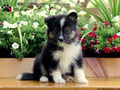 Siberian Husky and Pomeranian Mix  wantwantwant