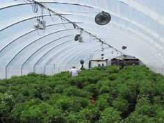 Here are some of the #hemp plants growing in the greenhouse in Colorado Springs - this is where your premium #CBD #Oil from That's Natural starts!  #CBDOil  #holistic #health www.cbdoil.life