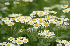 German chamomile (Matricaria recutita) makes a popular tea and Roman chamomile (Chamaemelum nobile) makes nice ground cover. Add both to your garden! Sugar Baby Watermelon, Chamomile Growing, Hanging File Organizer, Types Of Christmas Trees, Home And Garden Store, Types Of Herbs, Landscape Fabric, Potting Soil, Growing Herbs
