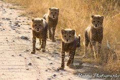 Quintin found these gorgeous little Cheetah Cubs while on game with our guests in the Kruger. http://outlook.co.za/5day-kruger-park-safari.html