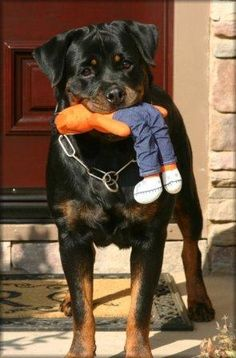 who should own rottweilers