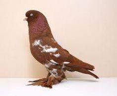 West of England Tumbler, Red Mottle YH Jim Cooper Tumbler Pigeons, Passenger Pigeon, Extinct Birds, Pigeon Breeds, Homing Pigeons, Pigeon Loft, Dove Pigeon, Habitat Destruction, Wild Birds