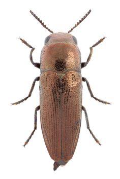Sphenoptera substriata (Krynicky, 1834) ♂ | Flickr - Photo Sharing!