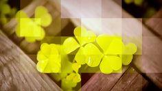 #DuvidaCruel: Por que trevos de quatro folhas são considerados raros? | Antigamente se acreditava que a pessoa que encontrasse um trevo teria muita sorte e sucesso na vida. Mas por que eles são considerados raros? Veja só! http://www.curiosocia.com/2016/03/por-que-trevos-de-quatro-folhas-sao.html