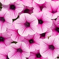 Proven Winners - Supertunia® Trailing Rose Veined - Petunia hybrid pink pale mulberry with deep mulberry veins plant details, information and resources. Container Plants, Container Gardening, Succulent Containers, Fine Gardening, Container Flowers, Vegetable Gardening, Organic Gardening, Landscaping Plants, Garden Plants