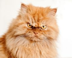 Meet Garfi The Angriest Cat On The Internet Angry Cat Cat And - Garfi is officially the worlds angriest cat