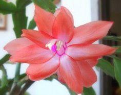 Como cuidar da flor de maio