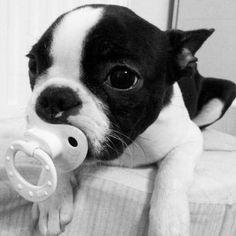 Cute pictures of Boston Terrier dogs! These pictures of Boston Terriers puppies will melt you heart and will make you smile! 40 pics of cute puppies! Baby Boston Terriers, Boston Terrier Love, Terrier Dogs, Cute Puppies, Cute Dogs, Dogs And Puppies, Doggies, Bulldog Puppies, Cute Baby Animals