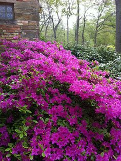 azaleas - same color as the ones in my yard...