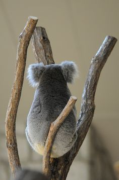 Amazing wildlife - Koala Bear photo #KoalaBear