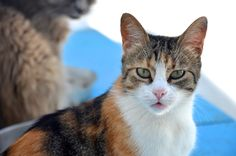 Psy, Calico Cats, Cool Cats, Cute, Animals, Animales, Animaux, Kawaii, Animal