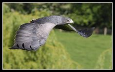 """""""grey eagle"""" - Google Search Pewter Color, Birds Of Prey, Eagle, Google Search, Grey, Animals, Gray, Animales, Animaux"""
