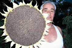 Giant Sunflower ''Titan'' ~10 Top Quality Seeds - HUGE Heads and Seeds - Rare #theseedhouse Giant Sunflower, Sunflower Seeds, 10 Top, Detail
