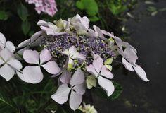 Beautiful Hydrangea macrophylla 'Beauté Vendomoise'  -Copyright Dirk Staels  -  Dirk Staels - Google+