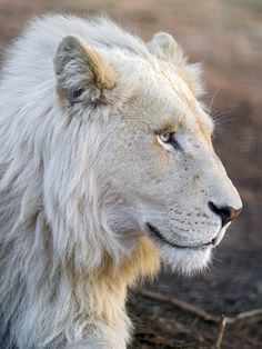 A majestic young white lion Most Beautiful Animals, Majestic Animals, Beautiful Cats, Lion Images, Lion Pictures, Lion Profile, Rhino Africa, Lion Photography, Lion Illustration