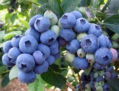 El arándano es una fruta muy apreciada por los países del hemisferio norte, principalmente EE.UU. y algunos países de Europa, tales como Alemania, Francia, Italia e Inglaterra, donde su consumo es tradicional. Por: Ing. Agr. Carlos Godoy (*) El fruto