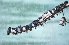 Canadian Keith Williams captures these tree Swallows cuddling together in a spring snowstorm.