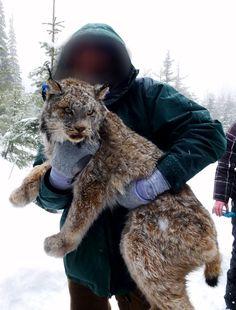 Lynx Sighting Colorado | Coyotes-Wolves-Cougars.blogspot.com