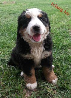 Pici Szága Bern, Dogs, Animals, Animales, Animaux, Pet Dogs, Doggies, Animal, Animais
