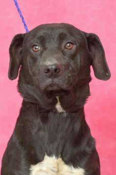 Labrador Retriever dog for Adoption in Johnson City, TN. ADN-488482 on PuppyFinder.com Gender: Male. Age: Young