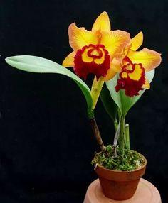 orquídeas cattleyas ou blc. híbridos cores variados