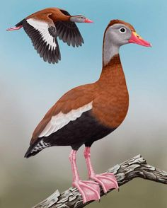 Black-bellied Whistling-Duck_CEPortrait_1200