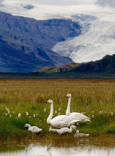Beautiful family of whooper swans, Iceland | Most Beautiful Pages #icelandic #birds www.yestravel.is #iceland